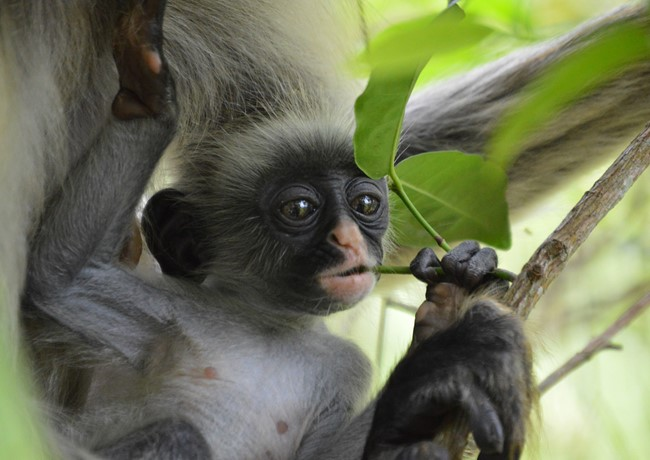 Baby-colobus-monkey-Zanzibar-by-Hannah-Jones.jpg