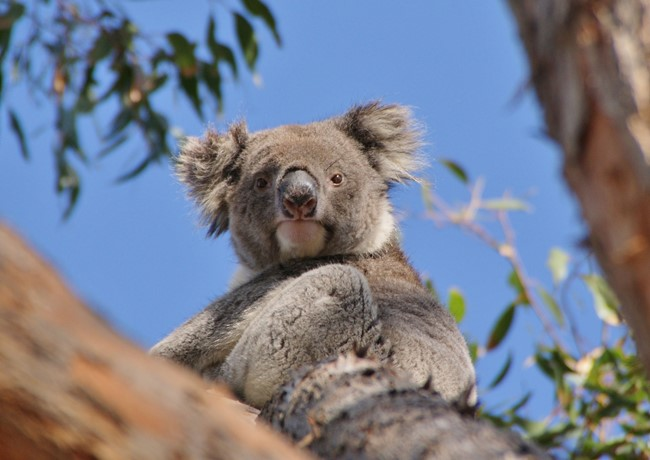 Audley-Travel-koala.jpg
