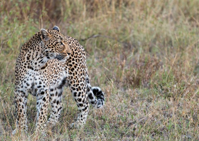 Leopard-Sabi-Sands-South-Africa.jpg